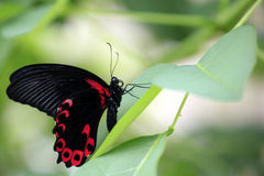 Scarlet Mormon butterfly / Papilio deiphobus rumanzovia on green leaf Stock Photography