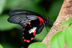 Scarlet Mormon butterfly Royalty Free Stock Photos