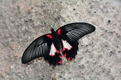 Scarlet Mormon butterfly Royalty Free Stock Photo