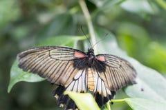 Scarlet Mormon, Papilio rumanzovia Royalty Free Stock Images