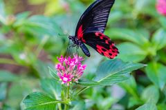 Scarlet mormon swallowtail butterfly perching on a pink flower royalty free stock images