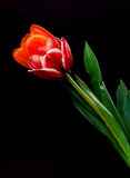 Scarlet and Orange Tulips Stock Images