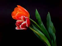 Scarlet and Orange Tulips Stock Image