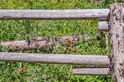 Scarlet Paintbrush and Aspen Bluebells Stock Image