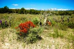Scarlet Paintbrush Wildflower Royalty Free Stock Photo
