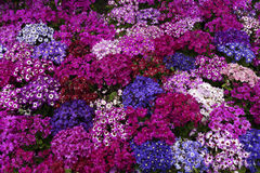 Scarlet, pale red, deep blue, quietly elegant, purple and white flowers Stock Photos