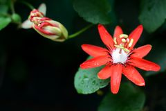 Scarlet Passion Flower - Passiflora Coccinea royalty free stock photo