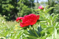 Scarlet peony in a botanical garden Royalty Free Stock Image