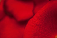Scarlet petals of flowers rose macro Stock Images