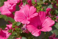 Scarlet petunia. Beautiful scarlet petunia on flowerbed Royalty Free Stock Images
