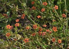 Scarlet Pimpernel. Anagallis arvensis Stock Photos