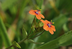Scarlet Pimpernel Royalty Free Stock Photo