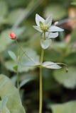 Scarlet pimpernel or red chickweed (Anagallis arvensis) Royalty Free Stock Image