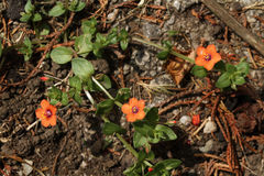 Scarlet pimpernel. Royalty Free Stock Photos