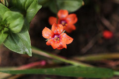Scarlet Pimpernel. Stock Photography