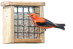 Scarlet Plumage Royalty Free Stock Images
