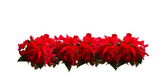 Scarlet poinsettia flower or christmas star Royalty Free Stock Photo