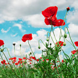 Scarlet poppies Stock Images
