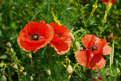 Scarlet poppies on a background of grass. Scarlet poppies on a background of green grass Royalty Free Stock Image