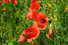 Scarlet poppies on a background of grass. Scarlet poppies on a background of green grass Stock Photo