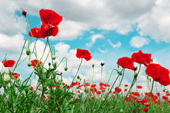 Scarlet poppies and cloudy sky Stock Photo
