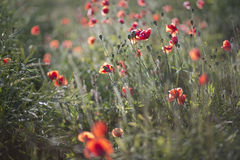Scarlet poppies at evening light on field Stock Photography