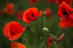Scarlet poppies in green grass blooming on field. Close-up Stock Photos