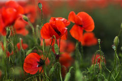Scarlet poppies in green grass blooming on field. Close-up Stock Photo