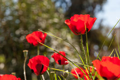 Scarlet poppies on the green grass Royalty Free Stock Image