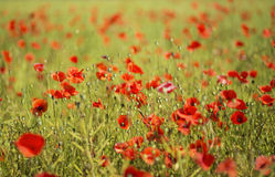 Scarlet poppies at sunny day on field Stock Images