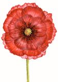 Scarlet poppy Royalty Free Stock Images