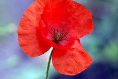 Scarlet poppy Royalty Free Stock Image