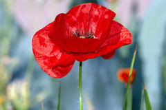 Scarlet poppy flower Royalty Free Stock Images