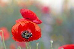 Scarlet poppy flower Stock Image
