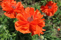 Scarlet poppy flowers with bee in a sunny day Stock Photo