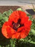 The scarlet poppy in the garden. In a Gloucester garden 201 Stock Photos
