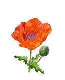 Scarlet poppy, illustration Royalty Free Stock Photo