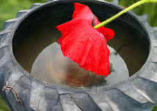 Scarlet poppy and old inner tube Royalty Free Stock Photo