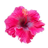Scarlet purple hibiscus flower on white background. Royalty Free Stock Photos