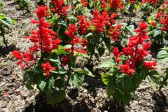 Scarlet red flowers of Salvia splendens in spring. Scarlet red flowers of Salvia splendens in late spring stock photography