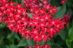 Scarlet Red Flowers. Small, star-shaped, tropical flowers Stock Image