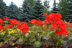 Scarlet red flowers of zonal pelargoniums. In the park Royalty Free Stock Photography