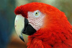 Scarlet red Macaw Parrot Royalty Free Stock Photography