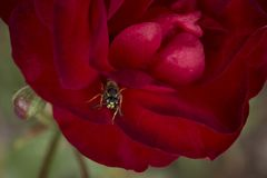 Scarlet red rose with a wasp closup. Macro background Stock Photo