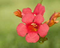 Scarlet red Trumpet Creeper bloom Royalty Free Stock Photo