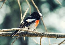 Scarlet Robin royalty free stock images