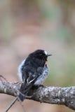 Scarlet Robin (Petroica boodang) Stock Photography