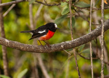 Scarlet Robin. (Petroica multicolor multicolor)perched on branch on Norfolk Island Stock Photo