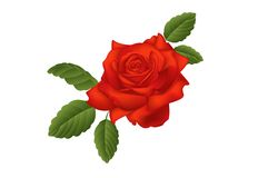 Scarlet rose Stock Photo