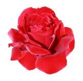 Scarlet rose Stock Image